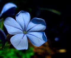 Twilight bloom... (Kaos2) Tags: blue summer flower macro evening twilight dusk plumbago plumbagoauriculata plumbagocapensisblue
