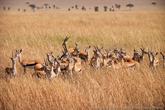 Thomsons Gazelle huddled together, sensing danger (3scapePhotos) Tags: africa tanzania animal animals antelope continent danger gazelle herd huddled safari sensing serengeti thomsons together