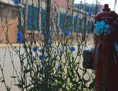 Hydrant (2bmolar) Tags: hydrant weeds