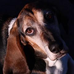 My Boy (robinlamb1) Tags: dog hound basset spencer