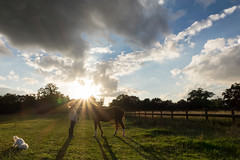 Kissing pony (dantooine79) Tags: sunset sky horse dog field silhouette clouds sony pony bichon frise welsh hertfordshire rx10