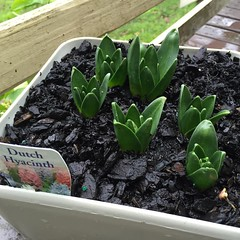 My hyacinths are finally making their comeback :) (sallysetsforth) Tags: garden gardening melbourne hyacinth