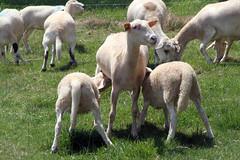 PM snack (baalands) Tags: summer hair twins sheep pasture lambs dairy nursing katahdin ewe yearling crossbred lacaune