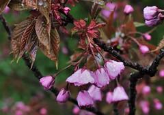 after the rain (heiko.moser) Tags: flowers flower color nature floral rain closeup canon flora outdoor natur natura blume blte farbe baum farbig regen bunt nahaufnahme kirsche heikomoser