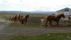 Thursday: Strangakvísl – Galtará Mountain Cabin (EdRyder) Tags: iceland ishestar kjoluriceland kjolur