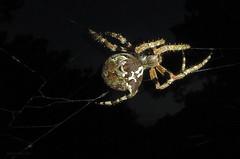 Giant Lichen Orbweaver (Araneus bicentarius) (flowerweaver) Tags: night spectacular awesome spiderweb camouflage huge lichen nightmare omg mimicry ginormous resident closeencounter giantlichenorbweaver sorrytoscareyou araneusbicentarius ilovespidersbutnotonme texashillcountryinhabitant