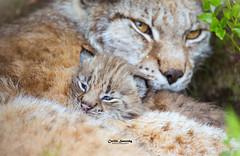 Just under 3 weeks old (nemi1968) Tags: 3weeksold canon canon5dmarkiii ef100400mmf4556lisiiusm eurasianlynx gaupe langedrag lynx markiii cat catfamily closeup cozy cub cute kitten lynxcub lynxkitten macro portrait tiny specanimal