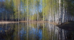 serenity keepers (Sergey S Ponomarev) Tags: sergeyponomarev canon eos 70d nature natura spring ef24105f40l panorama tranquility green birch water reflection riflessi trunks foliage paesaggio paysage russia russie russland north viatka vyatka wjatka kirov 2016 primavera may maggio color colori sky trees woods freshness