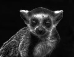 Lemur (nigdawphotography) Tags: animal mammal monkey lemur marsupial longleat ringtailed