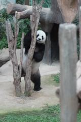 Fu Wa () aka Xing Xing 2016-06-16 (kuromimi64) Tags: bear zoo panda malaysia nationalzoo kualalumpur giantpanda   zoonegara  fuwa      xingxing selangordarulehsan  zoonegaramalaysia