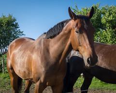 Portrait of a Horse (Housemill) Tags: horse brown bluesky brun hst blackhaired svarthrig bhimmel