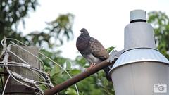 Paloma #Dove #Bird (Csar-Ivn) Tags: naturaleza dove paloma aves csarivn