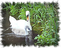 Mother & youngster (Janna...) Tags: bird mill nature swan norfolk cygnet burnhamovery