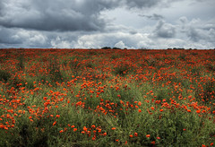 poppies at Winchester, Hampshire (neilalderney123) Tags: flowers landscape olympus poppies winchester 2016neilhoward 2016neilhoward