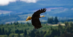 IMG_4094 (mechlerphotography) Tags: bald eagles comox