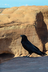 Ravens of Delicate Arch (Corvus tristis) Tags: nature birds animals outdoors nps archesnationalpark