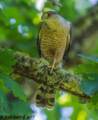 Cooper's Hawk (orencobirder) Tags: birds flight flickrexport facebook hawks bestofyear largebirds