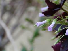 Antes de dormir (leonardomuoz99) Tags: pink naturaleza verde green nature nikon rosa coolpix plantae jardn p500 enfoque nikoncoolpixp500