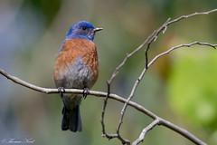 Western Bluebird (Male) (Tom Nord) Tags: bluebird westernbluebird bird lacountyarboretum arboretum botanicalgardens
