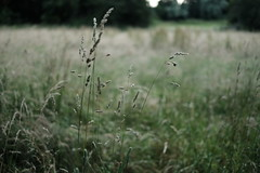 Summer grasses17 (Amselchen) Tags: nature fuji dof bokeh depthoffield fujifilm fujinon xt10 xf35mmf14r