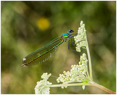 Many colours of a Damselfly (kevingrieve610) Tags: damselfly roding valley nature reserve essex depth flickr 6d ef100mm macro wings green blue sigma ring flash