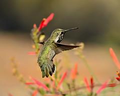 My Summer Camp (vgphotoz) Tags: arizona green bird nature back wings nikon hummingbird outdoor ngc pollen nikkor summercamp bif 55200mm vgphotoz