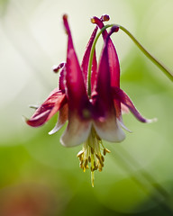 Columbine (back stage) Tags: red flower yellow yard garden pistil mo stamen springfield columbine sigma105mmf28 sonyalpha700