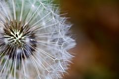 Wishes (Jen (255)) Tags: summer macro fauna garden flora dandelion wishes british
