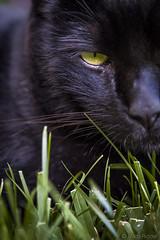 Danger (Mitch Ridder Photography) Tags: cat blackcat catinthegrass goldeye goldeneye