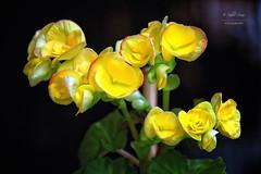 (189/16) Amarillo (Pablo Arias) Tags: pabloarias espaa spain hdr photomatix nx2 photoshop texturas flores amarillo naturaleza paracuellos madrid comunidaddemadrid