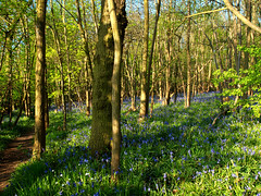 P5065362 (Paul_sk) Tags: park wood trees sunshine bluebells woodland cherry spring jubilee country orchard rochford