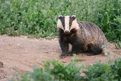 Badger Series (5 more shots in comments below) (KHR Images) Tags: wild nature mammal nikon wildlife badger cambridgeshire melesmeles d7100 europeanbadger nocull kevinrobson khrimages