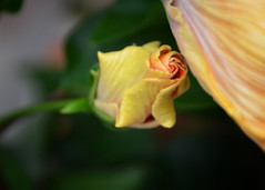 On My Way (susani2008) Tags: flower yellow hibiscus spinthebottle flowerbud
