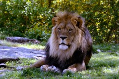 M'wasi, King of the Bronx (Eddie C3) Tags: nature lions bronxzoo zoos wildlifeconservationsociety nikond7000 mwasi