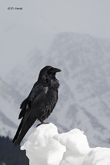 Common Raven (featherweight2009) Tags: corvuscorax commonraven
