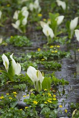 Giant skunk cabbage (peaceful-jp-scenery) Tags: sony tamron amount     a001   lysichitoncamtschatcense dslra900  900 calthapalustrisvarnipponica  spaf70200mmf28di