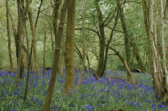 Bluebells Oil effect (Helen @ Heart Of Glass) Tags: trees bluebells 35mm nikon hill tags nikkor abbott stoke lewesdon beaminster nikond7000