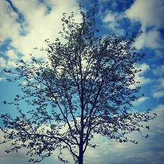 ใต้ต้นไม้ที่ไม่มีร่มเงา กิ่งก้านมันไม่ได้สูงสักเท่าไร แต่รากลึกลงในดิน หยั่งลึกลงในใจ มีความหมายที่มากมายตลอดมา ♡ #tree #blue #sky #cloud #fresh #after #rain #good #weather #leave #spring #blau #himmel #regen #regnet #baum #schön #wochenende #weekend #pla