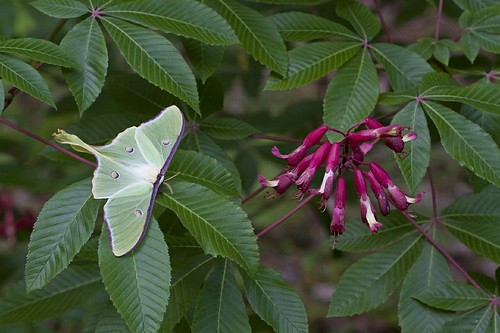 Luna Moth on Red Buckeye