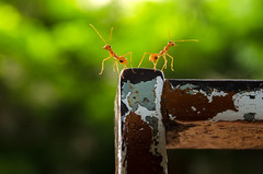 Move on.. (shayan444) Tags: life macro green nature eyes different bokeh pair direction ants greenery moveon smallworld breakup greenbackground smallcreatures weaverants smalllife