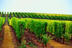 Rows and Rows of Grapes (thor_mark) Tags: nature oregon unitedstates dundee overcast vineyards day1 hillsides project365 colorefexpro nikond800 archerysummitwinery
