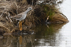 20130512_SWA3675_Lesser Yellowlegs (Swach) Tags: usa bird newjersey unitedstates capemay