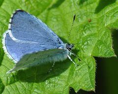 Holly Blue (Celastrina argiolus) (marmendy mill) Tags: macro closeup butterfly bug insect photo nikon butterflies lepidoptera mariposa essex greenleaf rochford magnoliapark hollyblue celastrinaargiolus