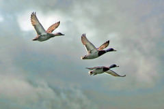 Mallards In Flight (David Alexander Elder) Tags: uk nature beautiful birds scotland landscapes three duck awesome united flight ducks kingdom escocia mallard schottland schotland ecosse scozia skotlanti skotland  flighing    skotsko    kotska kotija   eskosya