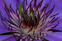 Clematis (Nature Nut_Michele) Tags: flower macro oregon purple clematis vine