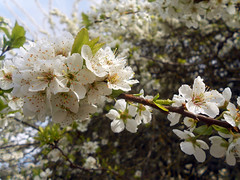 Pear Blossom Time (Sotosoroto) Tags: seattle flowers tree washington mapleleaf