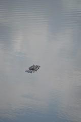 All you see of an Alligator! (jungle mama) Tags: alligator marsh wetland wakodahatchee wakodahatcheewetlandsdelraybeachfl