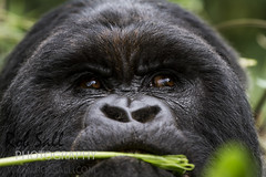 Mountain Gorilla (robsall) Tags: africa vacation mountains mammal volcano nationalpark wildlife rwanda ape volcanonationalpark primate apes albertine gorillas primates volcanos rift mountaingorilla gorillagorilla volcanosnationalpark wildlifephotography beringei northernprovince albertinerift gorillagorillaberingei gorillatracking kwitonda kwitondagroup kwitondafamily robsall ggberingei africaalbertinerift robsallwildlifephotography rwandanationalpark kwitondarwanda