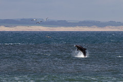 Classic dolphin (ritchiecam) Tags: nature canon dolphin aberdeen 7d torry breach 400mm