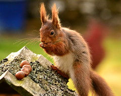 The Tufty Club (Feversham Lens) Tags: squirrels wildlife cumbria eden redsquirrels edenvalley westmorland kirkbystephen waitby galebars